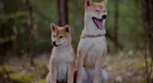 Shiba Inu puppies Shiba Inu for sale Shiba Inu price Shiba Inu cost Shiba Inu rescue Shiba Inu adoption Cute Shiba Inu Baby Shiba Inu Sesame Shiba Inu Shiba Inu