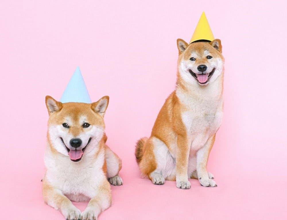 two cute shiba inu wearing party hat