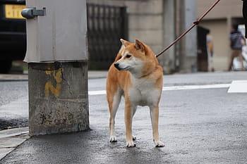 training methods for shiba Inus dogs